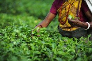 tea harvest Darjeeling