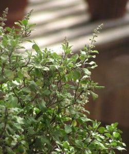 tulsi- (Holy Basil, Ocimum tenuiflorum)