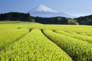 tea-garrden-japan